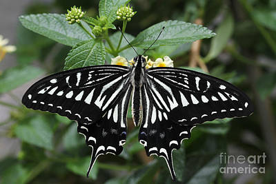 Lucille Ball - Asian Swallowtail Butterfly by Judy Whitton