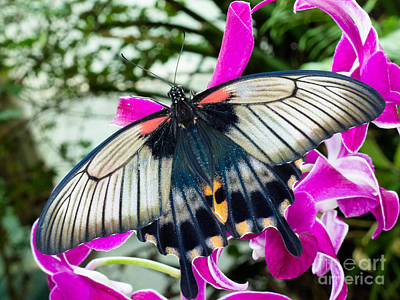 Food And Flowers Still Life - Asian Swallowtail tropic butterfly sucking nectar by Stephan Pietzko