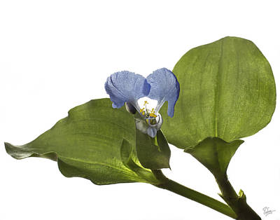 Photograph - Asiatic Day Flower by Endre Balogh