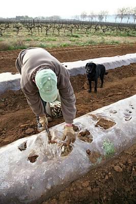 Asparagus Wall Art - Photograph - Asparagus Cultivation by Bjorn Svensson/science Photo Library