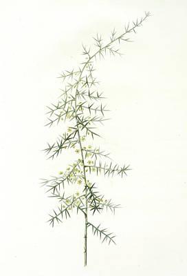 Asparagus Drawing - Asparagus Horridus, Asperge à Grosses épines, Spiny by Artokoloro