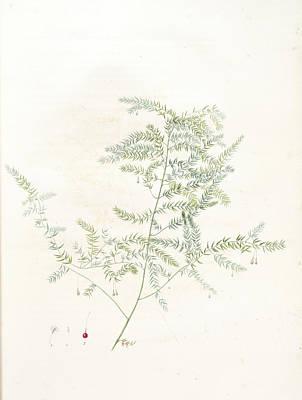 Asparagus Drawing - Asparagus Pectinatus, Asparagus Scandens Asperge à by Artokoloro
