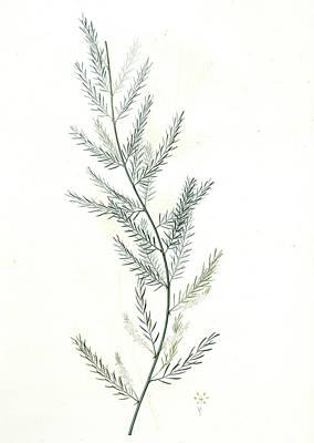 Asparagus Drawing - Asparagus Sarmentosus, Asperge Sarmenteuse by Artokoloro