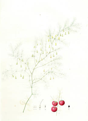 Asparagus Drawing - Asparagus Tenuifolius, Asperge à Feuilles Menues by Artokoloro