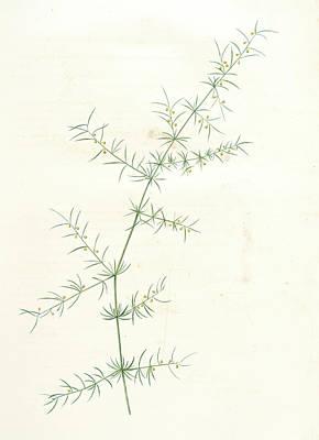 Asparagus Drawing - Asparagus Tricarinatus, Asparagus Verticillatus Asperge à by Artokoloro