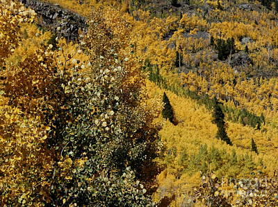 Photograph - Aspen 1 by Fred  Sheridan