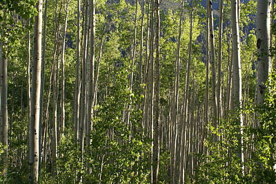 Aspen Along Independence Pass  Art Print by Jacqueline Russell