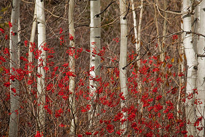 Wall Art - Photograph - Aspen And Berries by Diana Marcoux