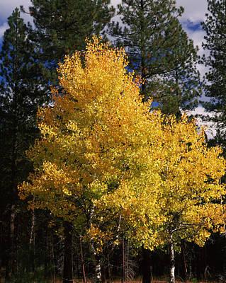 Ponderosa Pine Photograph - Aspen And Ponderosa Pine Trees by Panoramic Images