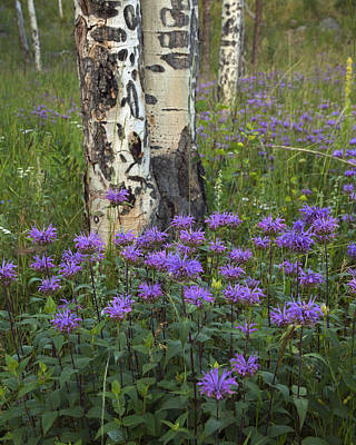 Horsemint Photograph - Aspen And Wildflowers by Gary Langley