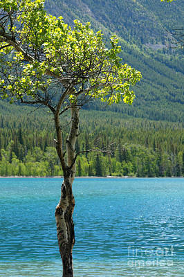 Photograph - Aspen At Chilco by Frank Townsley