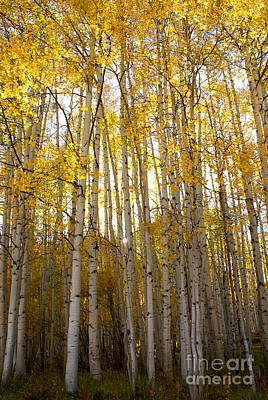 Photograph - Aspen Autumn by Kelly Black
