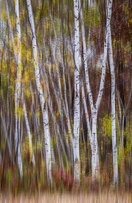 Photograph - Birch Trees At Lake Maria State Park Minnesota by Patti Deters