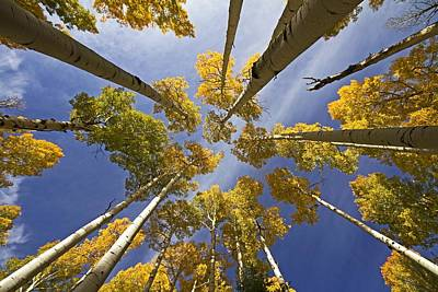 Aspen Color Art Print by Sue Cullumber