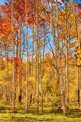 Aspen Fall Foliage Portrait Red Gold And Yellow  Art Print by James BO  Insogna