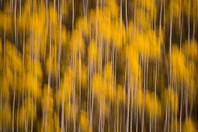Photograph - Aspen Forest by Dustin  LeFevre