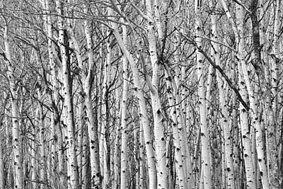 Photograph - Aspen Forest Tree Trunk Bark by James BO Insogna