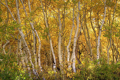 Photograph - Aspen Glow by Donna Kennedy