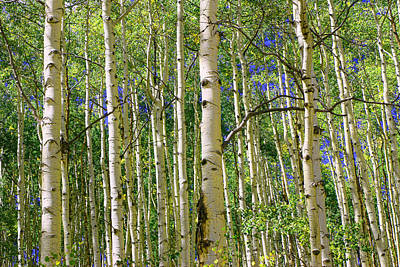 Photograph - Aspen Grove 3 by Allen Beatty