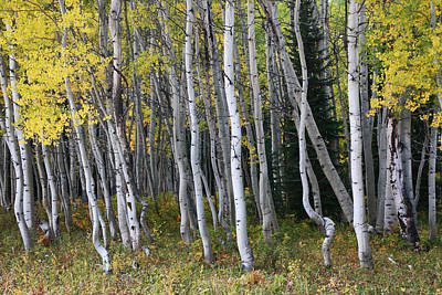 Photograph - Aspen Grove 5 by Allen Beatty