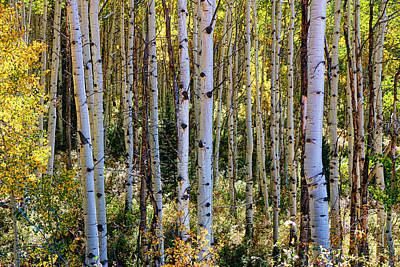 Photograph - Aspen Grove by Allen Beatty
