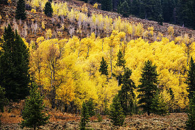 Photograph - Aspen Grove In Grand Teton National Park by Vishwanath Bhat