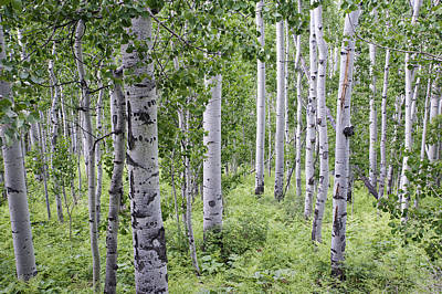 Photograph - Aspen Grove by Melany Sarafis