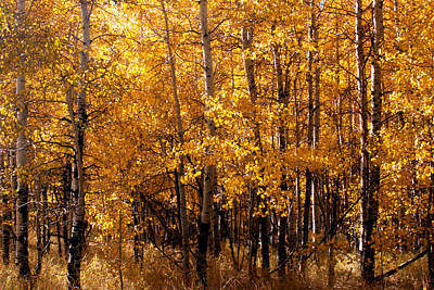 Art Print featuring the photograph Aspen Grove Tahoe City by William Havle