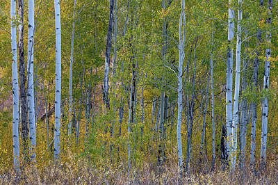 Multihued Photograph - Aspen In Autumn Grand Teton National by Tom Norring