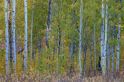 Aspen In Autumn Grand Teton National Art Print by Tom Norring