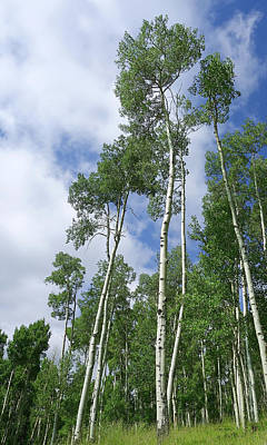 Photograph - Aspen In Summer  Photography by Ann Powell