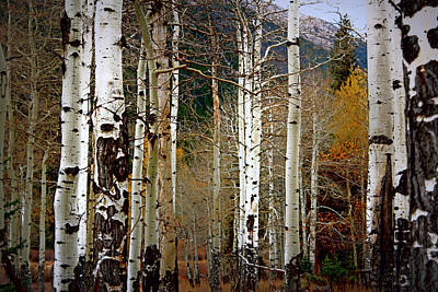 Aspen In The Rockies Art Print by Lynn Sprowl