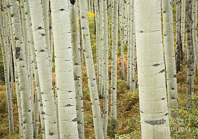 Photograph - Aspen Infinity by Idaho Scenic Images Linda Lantzy