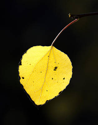 Aspen Leaf  In Fall Print by Gary Langley