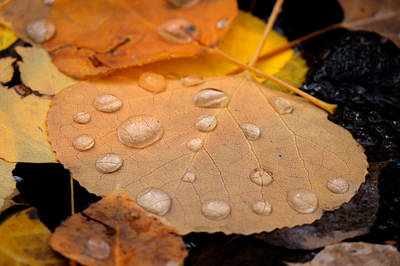 Aspen Leaf With Water Drops Art Print
