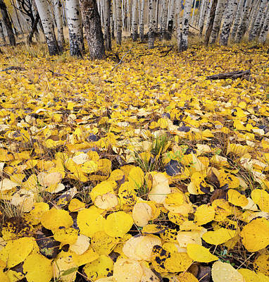 Fallen Leaf Photograph - Aspen Leaves Fallen On Ground by Panoramic Images