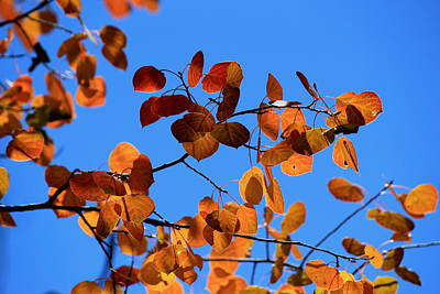 Photograph - Aspen Leaves In The Wind by Trent Mallett