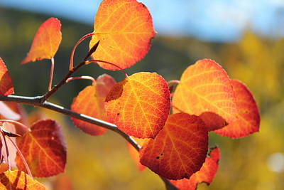 Photograph - Aspen Leaves by Trent Mallett