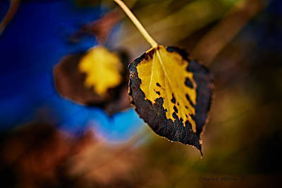 Photograph - Aspen Leaves V by Charles Muhle