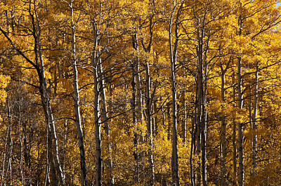 Photograph - Aspen by Lee Kirchhevel