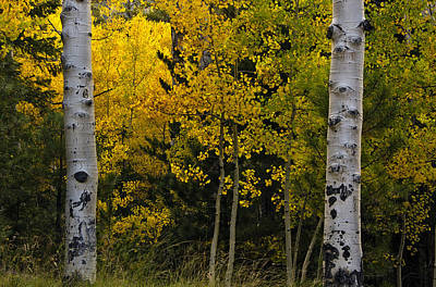 Flagstaff Wall Art - Photograph - Aspen Light by Dave Dilli