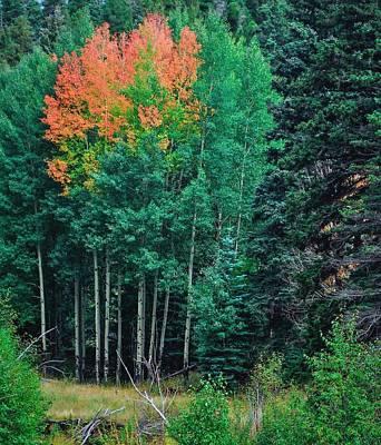 Aspen-orange Before Yellow Art Print by Larry Bodinson