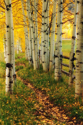 Aspen Path Art Print by Ronda Kimbrow