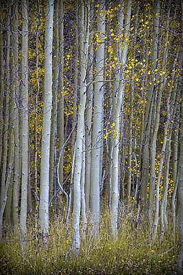 Photograph - Aspen Stand by John Stephens