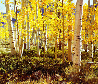 Photograph - Aspen Stand Utah by Rich Franco