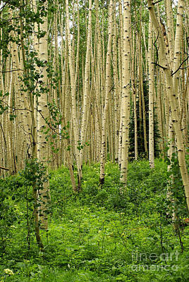 Photograph - Aspen Summer by Kelly Black