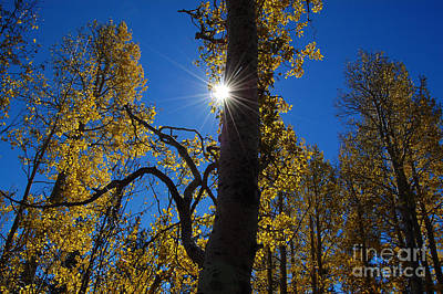 Photograph - Aspen Tree And Sunstar by Debra Thompson