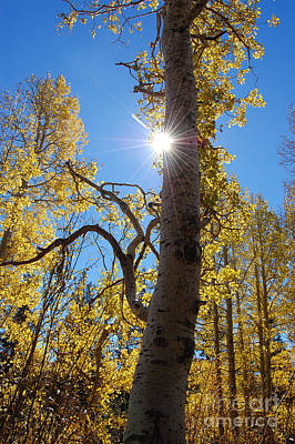 Photograph - Aspen Tree With Sunstar by Debra Thompson