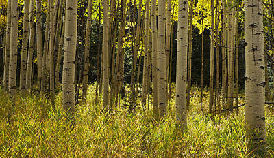 Aspen Trees All In A Row Art Print