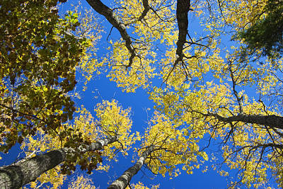 Photograph - Aspen Trees And Blue Sky by Keith Webber Jr
